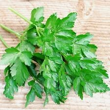 1000 Parsley Dark Green Flat Leaf Herb Seeds Combined S/H