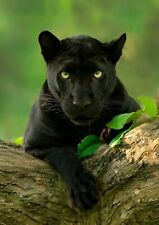 PANTHER CAT POSTER WALL ART - CHOOSE SIZE - FRAMED OPTION a ANIMALS