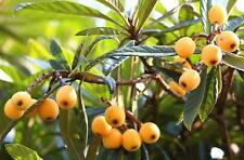 Loquat Tropical Fruit Tree