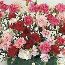 Dianthus- Sonata Mix- 100  Seeds- BOGO 50% off SALE