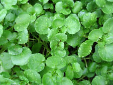 WATERCRESS 200 seeds sprouts garden pond creeper water cress SPROUTING