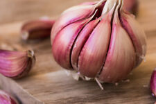 Chesnok Red Garlic Bulb | Planting or Eating Green Usa Garden Onion Head 2021