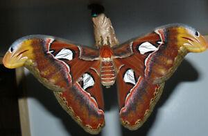 Attacus Atlas Live Moth Cocoons X 4  Ex Thailand