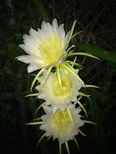 Dragon Fruit (White) Night Blooming Cactus, 4- Rooted cuttings
