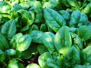 """SPINACH SEEDS """"ENGLISH MEDANIA""""(APPROX 100 SEEDS)"""