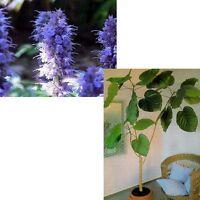Schmetterlings-Lakritze und Ficus: 2 tolle Sorten im Sparset