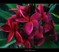 """NEUF RARE Frangipani Plumeria """"HILO Beauté"""" Doucement parfumées House Plant,"""