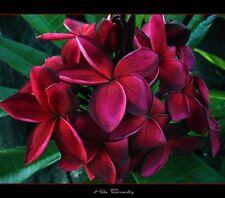 new rare Frangipani Plumeria 'hilo beauty'sweetly scented house plant,