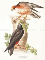 PAINTING BIRDS GOULD BEARDED VULTURE ART PRINT POSTER LAH521A