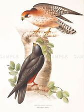 PITTURA UCCELLI Gould ROSSO pagano Falcon COPPIA art print poster lah561a