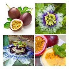 1 Pack 20 Rare Passiflora Edulis Flower Seeds Fresh Passion Fruit Organic S050