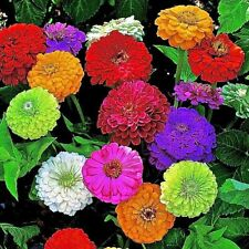 """New listing 1000+Giant Dahlia Zinnia Mix Seeds 10 Bright Colors Big 5"""" Blooms Butterflies"""