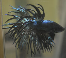 live betta fish- IMPORTED MALE- HOLY GRAIL- KING CROWNTAIL ( CROSSRAY ) COPPER