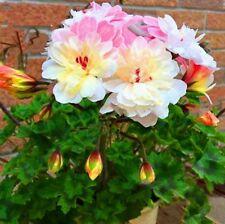 BUY 3 GET 2 FREE Rosebud Apple Blossom Geranium Pelargonium 100 Pcs Seeds Bonsai