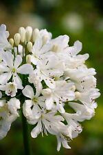 New 3 Agapanthus Snow Crystal  garden perennial plants