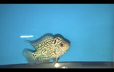 Flowerhorn Kamfa , Live Aquarium Fish (USA Stock)- #FG13