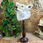 br31 Taxidermy Oddities Curiosities Prairie Wolf coyote Head mount Display deco
