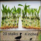 20 LUCKY Bamboo Plants 4