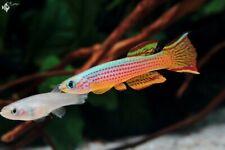 Red-striped Killifish - Breeding Pair - (Aphyosemionstriatum) Live Fish Pair