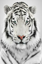 STUNNING WHITE BENGAL TIGER CANVAS #17 QUALITY WILDLIFE CANVAS PICTURE WALL ART