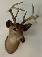 Deer Head Shoulder Mount Taxidermy With Antlers