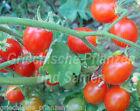 MATTS Wild Cherry wild-tomate Cocktail tomaten 10 Semillas