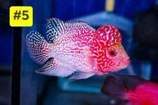"New listing Weekend Sale Super Red Big Head/Big Tail Golden Base Aaaa 4.5"""
