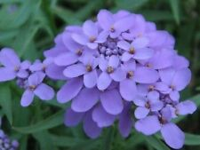 50+ IBERIS GIBRALTARICA EVERGREEN LILAC CANDYTUFT / DEER RESISTANT GROUND COVER