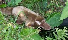 Australien Platipus Schnabeltier Stofftier  kuschellig weich  38 cm