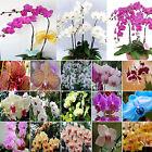Best 20Pcs Yellow Purple Phalaenopsis Moth Orchid Flower Seed Organically Grown