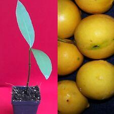 Luc's Mexican Achachairu Yellow Garcinia Vleerackeii Mangosteen Fruit Tree Plant