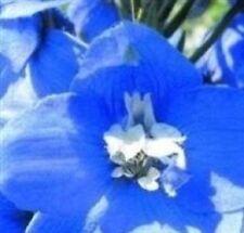 Delphinium-Fuentes De Magia Azul Medio Con Abeja Blanco - 50 semillas