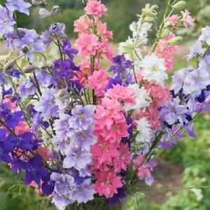 """100 x LARKSPUR """"Sublime Mix"""" seeds.  Stunning and ideal as cut  flowers ST-03"""