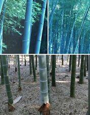 blauer winterharter Gartenbambus Bambus für draußen Fargesia papyrifera / Samen