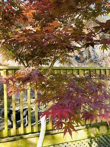 Red Japanese Maple Seedling Tree