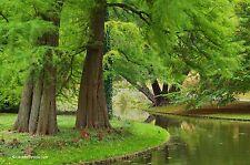 Urweltmammutbaum Metasequoia glyptostroboides 200 Samen VERSAND FREI !!!