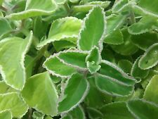 Mother Herb, Sleeping Tea plant HERB, Help Queen of Herbs, Five in One Herb,