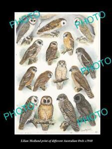 LILIAN MEDLAND VINTAGE PRINT OF AUSTRALIAN BIRDS 16x11 OWL BREEDS