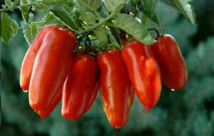 TOMATE SAN MARZANO, 50 semillas + GRATIS
