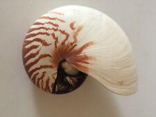 """Chambered Nautilus Shell 7"""""""