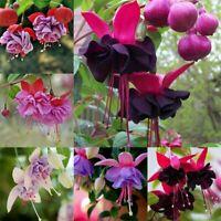 100 Fuchsia Flower Seeds Mixed Lantern Multi-Colored Perennial Home Plant Bonsai