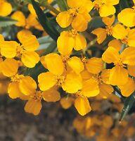 Winter Estragon,Tagetes lucida,mexikanischer Estragon,samenfest von unserer Farm