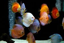 Assorted Discus - Live Tropical Fish (Approx. 2 inch)