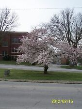 1 Kwanzan Cherry Tree(Prunus Serrulata)