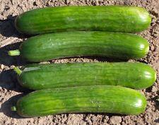 25 Persian Beit Alpha Cucumber Seeds NON-GMO Crispy!