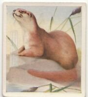 Common Otter Mammal c80 Y/O Trade Ad Card
