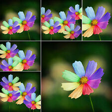 300x Rainbow Chrysanthemum Flower Plant Seed Rare Special Unique Colorful Flower