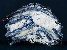 Woolly Mammoth Tooth Cross Section In Riker Display Pleistocene Hawthorne Fm
