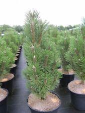 max 20-25 Kugelkiefer kompakt Pinus nigra Pierrick Bregeon 1-1,50m hoch R
