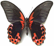 Taxidermy - real papered insects : Papilionidae : Papilio rumanzovia